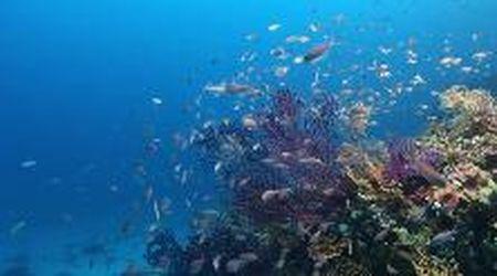 Il mare di Capri al tempo del coronavirus: così i pesci diventano meno diffidenti
