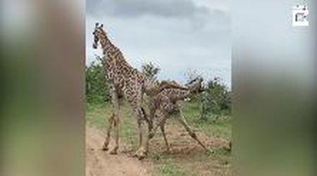 Il combattimento acrobatico delle giraffe: il duello sembra una danza