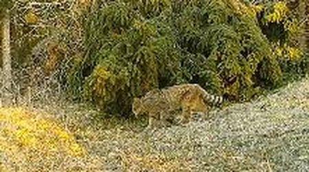 Uno splendido gatto selvatico nella zona del Visentin