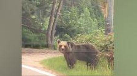 Incontrano un orso per strada, ragazza si avvicina per una foto: ma non è una buona idea
