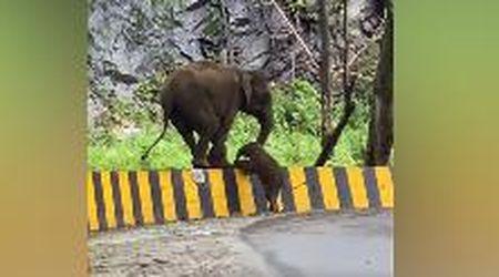 """L'elefantino non riesce a superare una barriera, la madre lo aiuta: """"Spettacolo raro"""""""