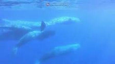 Isole Eolie, incontro con una famiglia di capodogli: le immagini subacquee
