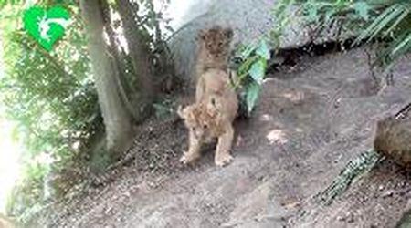 Roma, evento al Bioparco: nate due cucciole di leone asiatico