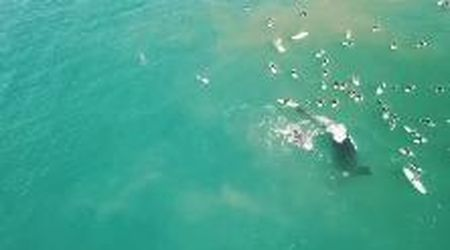Australia, i surfisti si avvicinano troppo al suo cucciolo: mamma balena li allontana a colpi di coda