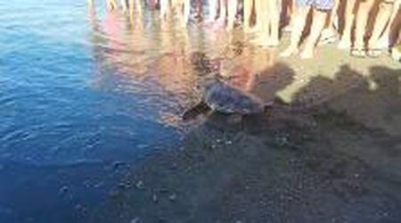 Cecina: la tartaruga Nanà libera, ritrova la via del mare