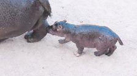 Pesa già 50 chili il neonato di ippopotamo nato al Bioparco Zoom di Torino