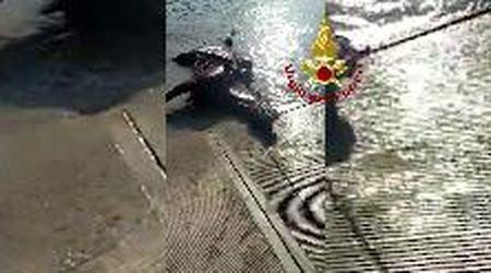 Il salvataggio del cavallo caduto nel Piave