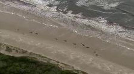 Tasmania, balene spiaggiate in massa sulla costa, la corsa per salvarle