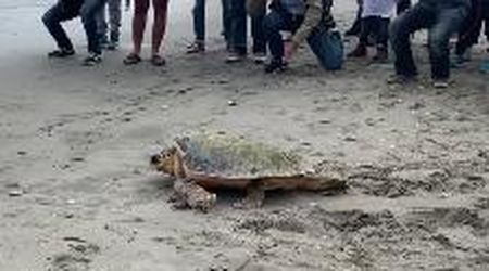 Cesenatico, il ritorno in acqua della tartaruga Furien