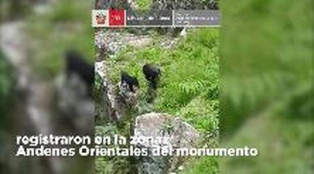 Machu Picchu, sorpresa: tra le rovine Inca spuntano mamma orsa e il suo cucciolo