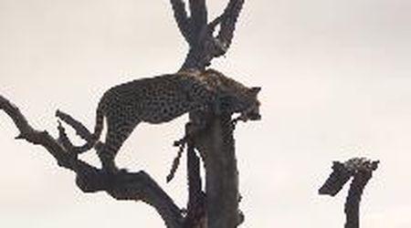 Le iene circondano il leopardo, ma si distraggono per un istante: alla fine riesce a scappare