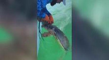 La tartaruga marina è impigliata nella trappola per granchi: il pescatore la libera
