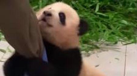 Non vuole staccarsi dalla gamba del custode: la storia della cucciola di panda da 5 milioni di clic