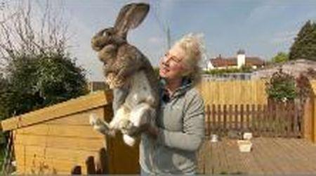 """Rapito il coniglio più lungo del mondo. La padrona, ex modella di Playboy: """"1000 sterline a chi lo trova"""""""