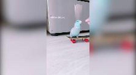 Singapore, un curioso talento nascosto: ecco il pappagallo con lo skateboard