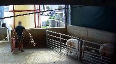 Crudeltà e orrore in un macello di Cremona, la video-inchiesta