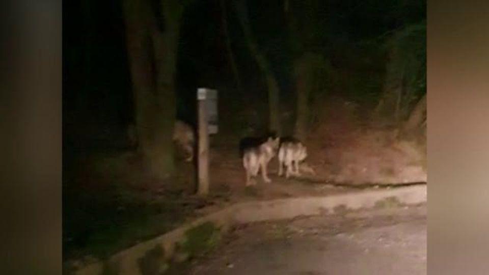 Parte l'allarme per dei lupi al parco Righi di Genova: ma non sono quello che sembra