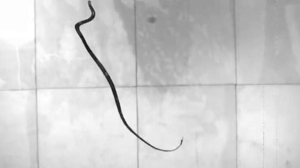 I serpenti sono in grado di volare, la spiegazione secondo la fisica