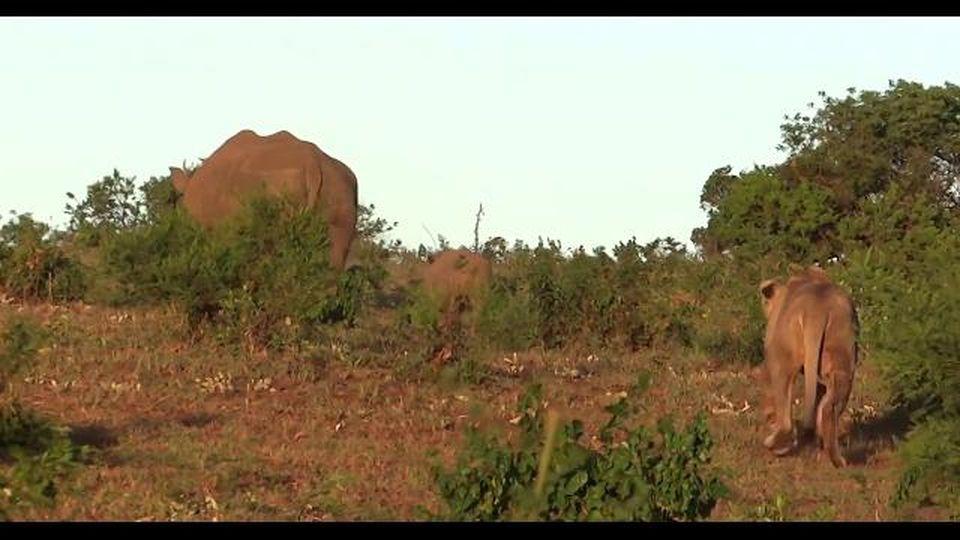Il cucciolo di rinoceronte non si accorge che dietro al cespuglio c'è un leone, il finale è a sorpresa