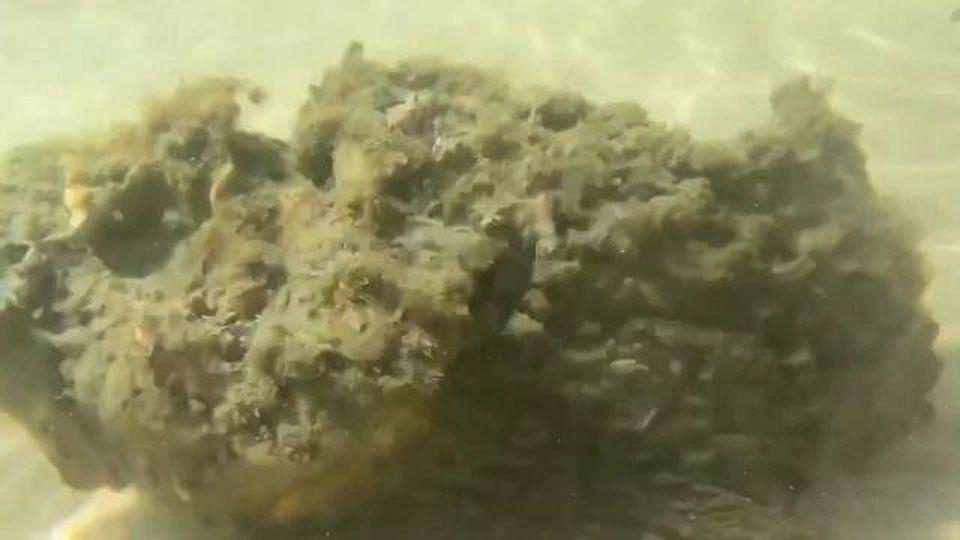Australia, credeva fossero alghe ma in realtà era il pesce più velenoso del mondo