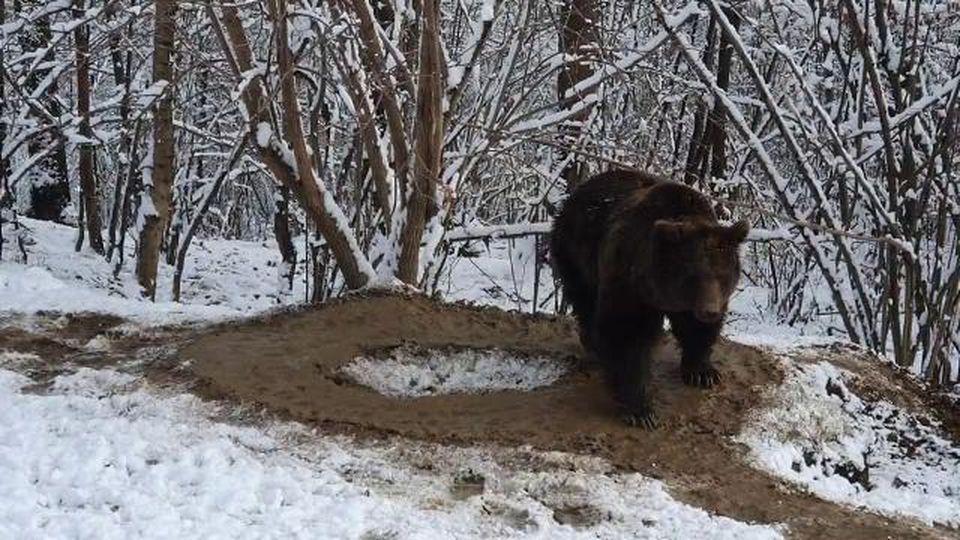 Dopo 20 anni in uno zoo, l'orsa Ina oggi è libera, ma la sua mente è rimasta imprigionata