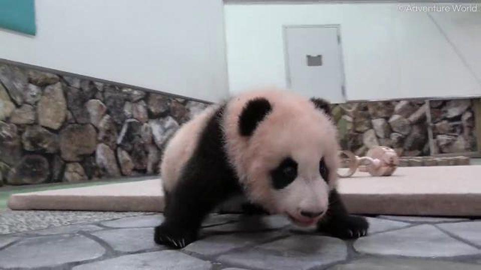 Giappone, il baby panda muove i primi passi: la sua andatura è ancora incerta e cade a muso in giù