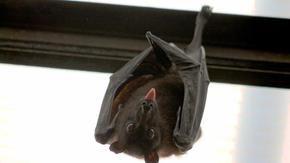 Chiediamo scusa ai pipistrelli ea Natale facciamo pace con la natura e gli animali