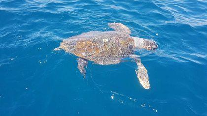 Napoli, salvata  una tartaruga marina al largo di Nisida