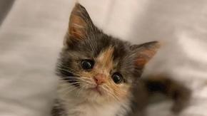 La forza di Amelia, la femmina di gatto con la panleucopenia sopravvissuta contro ogni probabilità