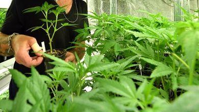 Referendum cannabis, parliamo di numeri: quanti vantaggi porterebbe la legalizzazione