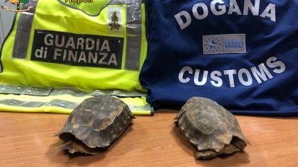 Due tartarughe a rischio estinzione in valigia, denunciato un uomo all'aeroporto di Capodichino