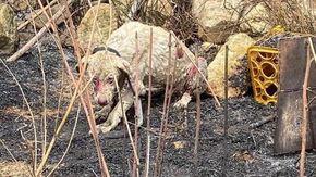 """Angelo non ce l'ha fatta: è morto il cane """"simbolo"""" degli incendi in Sardegna"""