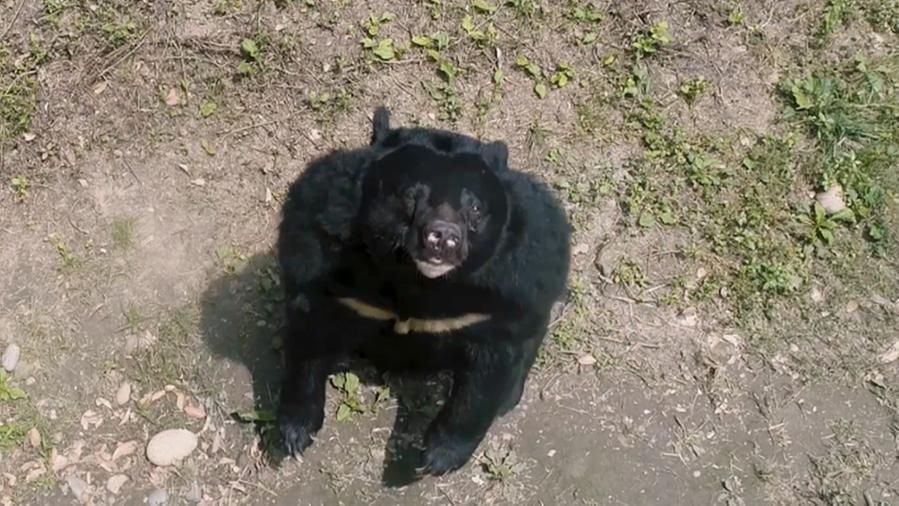Il viaggio della speranza di 101 orsi salvati da una fabbrica della bile cinese