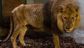Thin, without claws and with filed teeth: thus the lion Jon was freed by a French circus