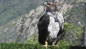 La pandemia non ferma le aquile di Bonelli: sette nuovi esemplari in Sardegna